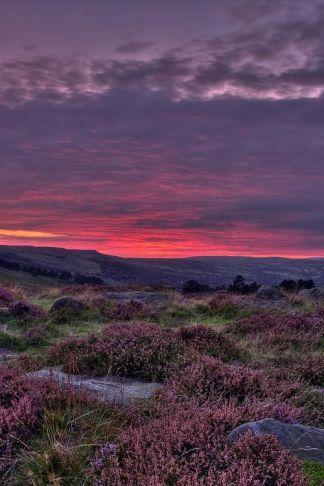 purple moors